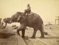 Elephant at work [Rangoon] 88120